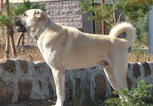 kangal köpek resmi