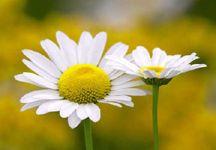 papatya çiçek resmi