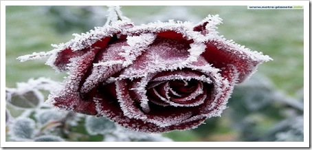 rose_givre