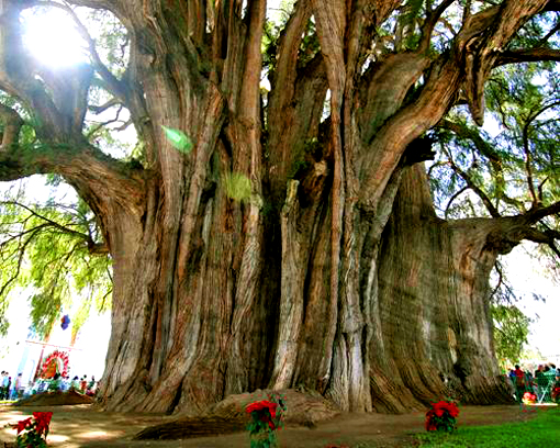 montezuma-cypress-tule-tree.jpg