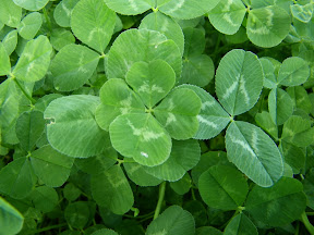 4 leaves clover