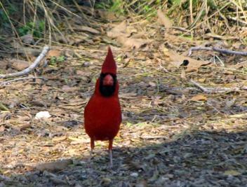 Cardinal [800x600]