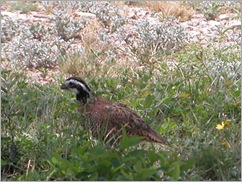 bobwhite quail - Copy