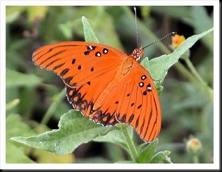 butterfly9jpg