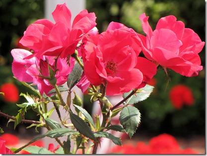 Roses Overlook