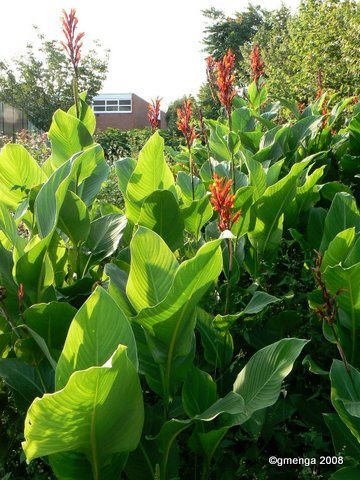 Canna indica (Balisier rouge)