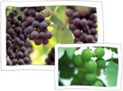 Chilgok Grape