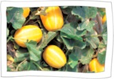 Chilgok Honey Melon
