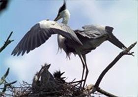 Uiseong Gray Heron Habitat 01