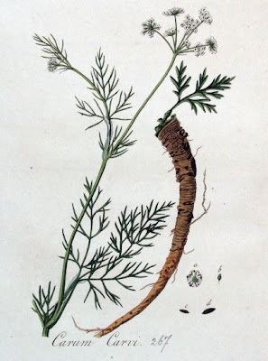 Carum carvi L.