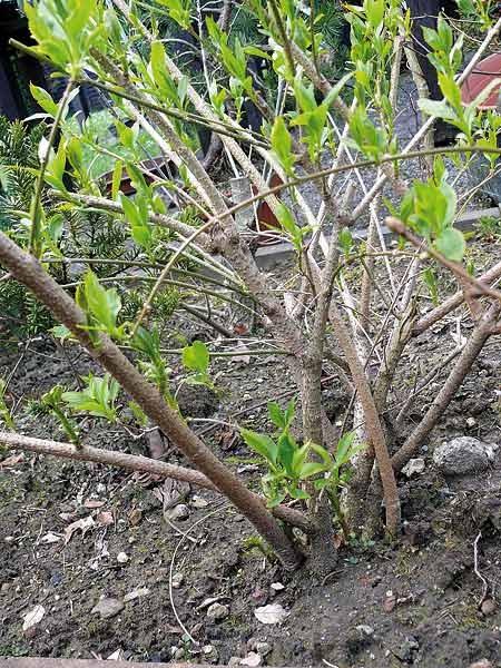 reiners bonsai blog forsythia x intermedia pflanzenbeschaffung. Black Bedroom Furniture Sets. Home Design Ideas