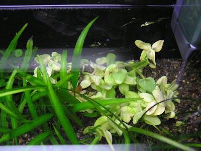 バコパ カロリニアーナ イエローフレーム スリランカ便 を 水槽の魔のスポットに植える