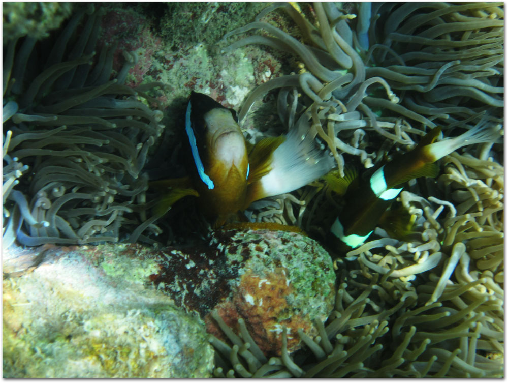 Clownfish swimming in anemone