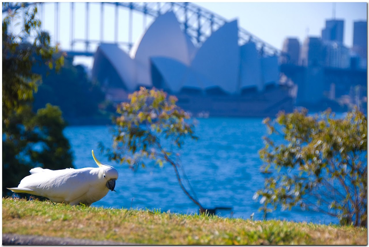 Cockatoo in front of Sydney Opera House