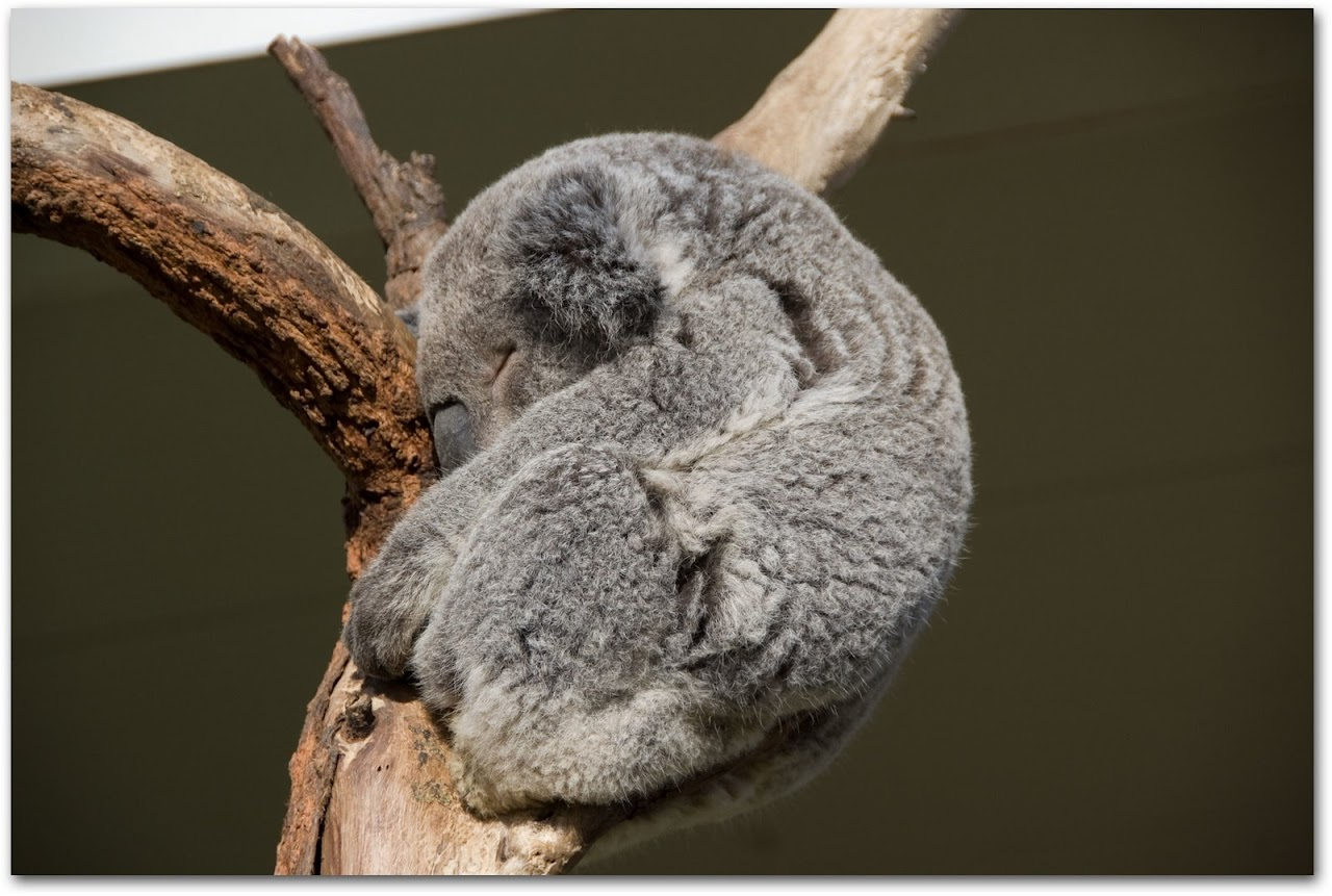 Koala cuddled in tree