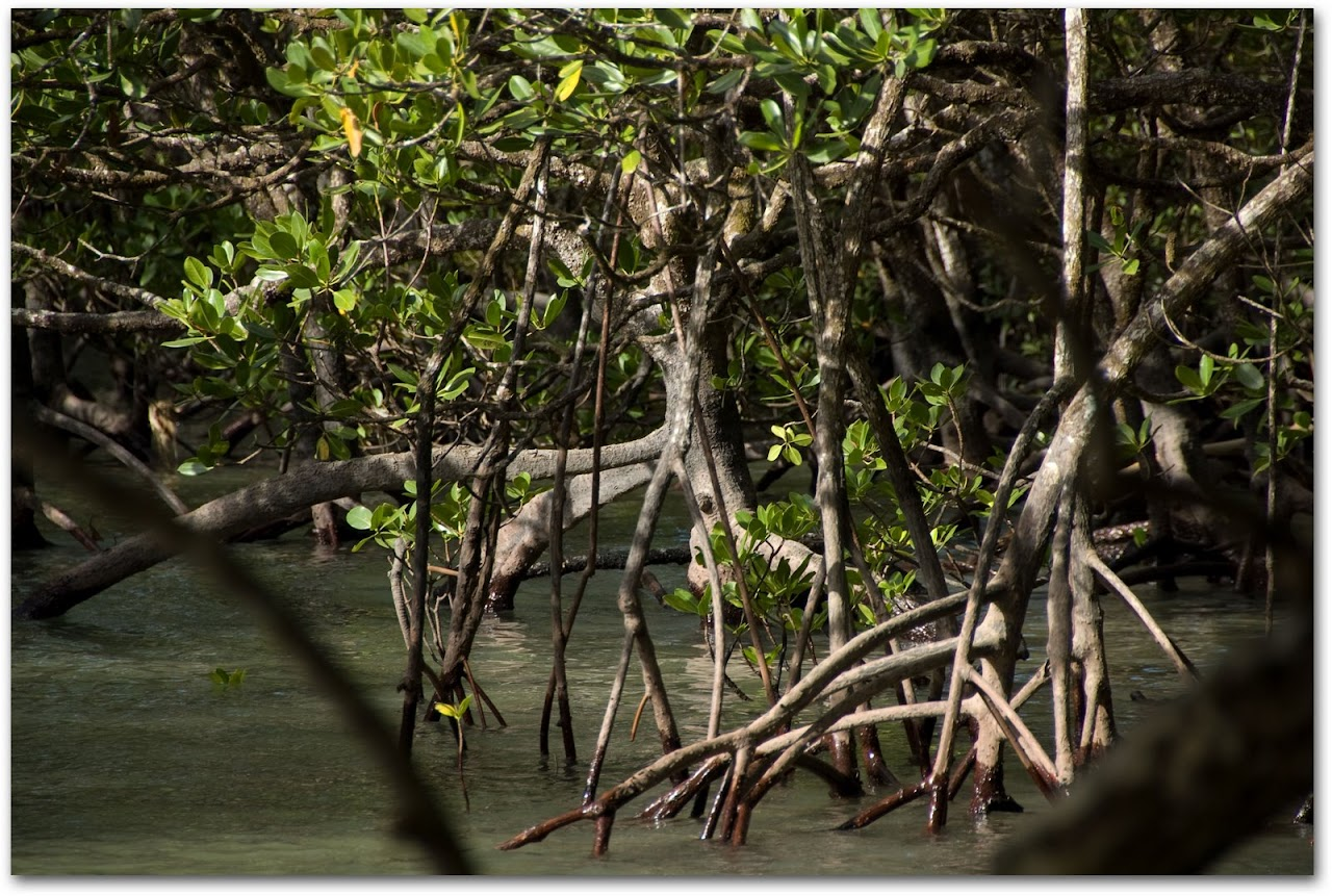 Daintree mangrove trees
