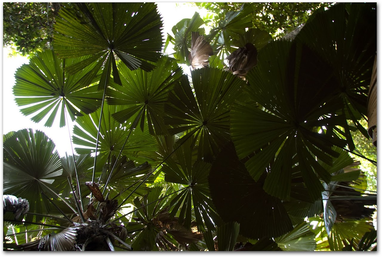 Fan palms at Daintree Rainforest
