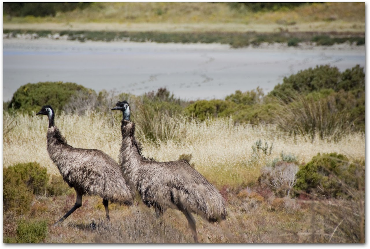 Emus in grass