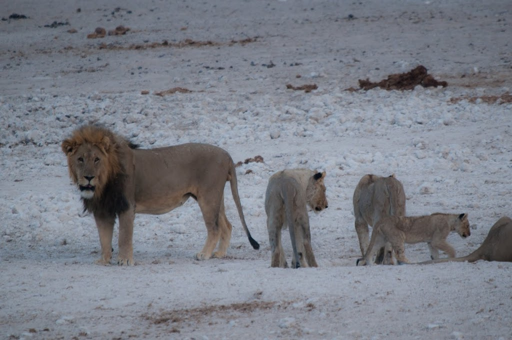 Lion with lionesses