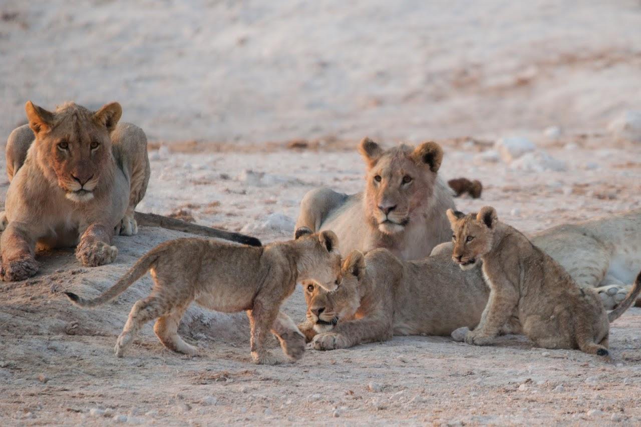 Lionesses at Etosha