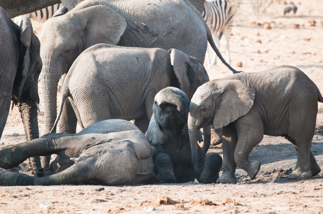 Elephants at Etosha