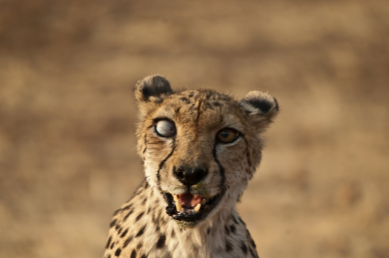 Wild cheetah with one eye