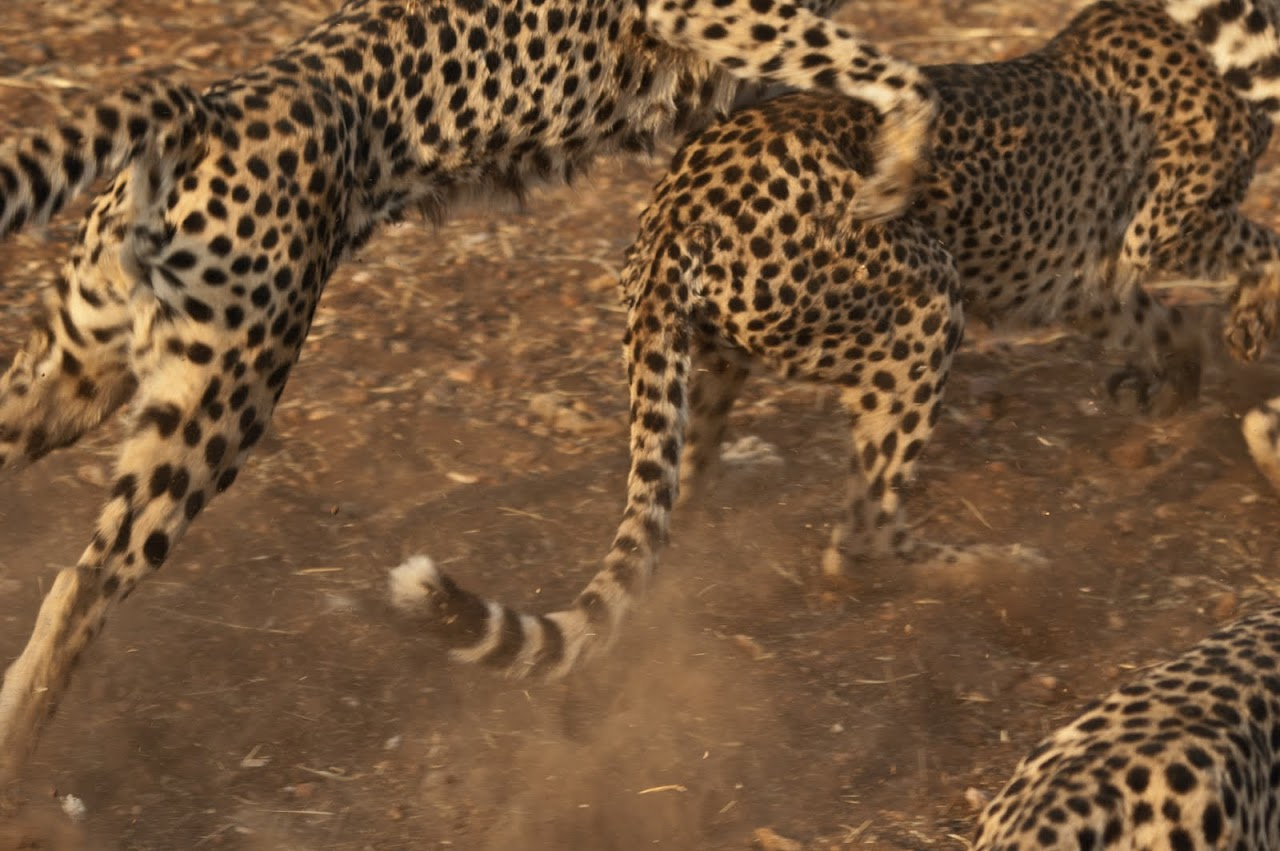 Cheetahs fighting over meat