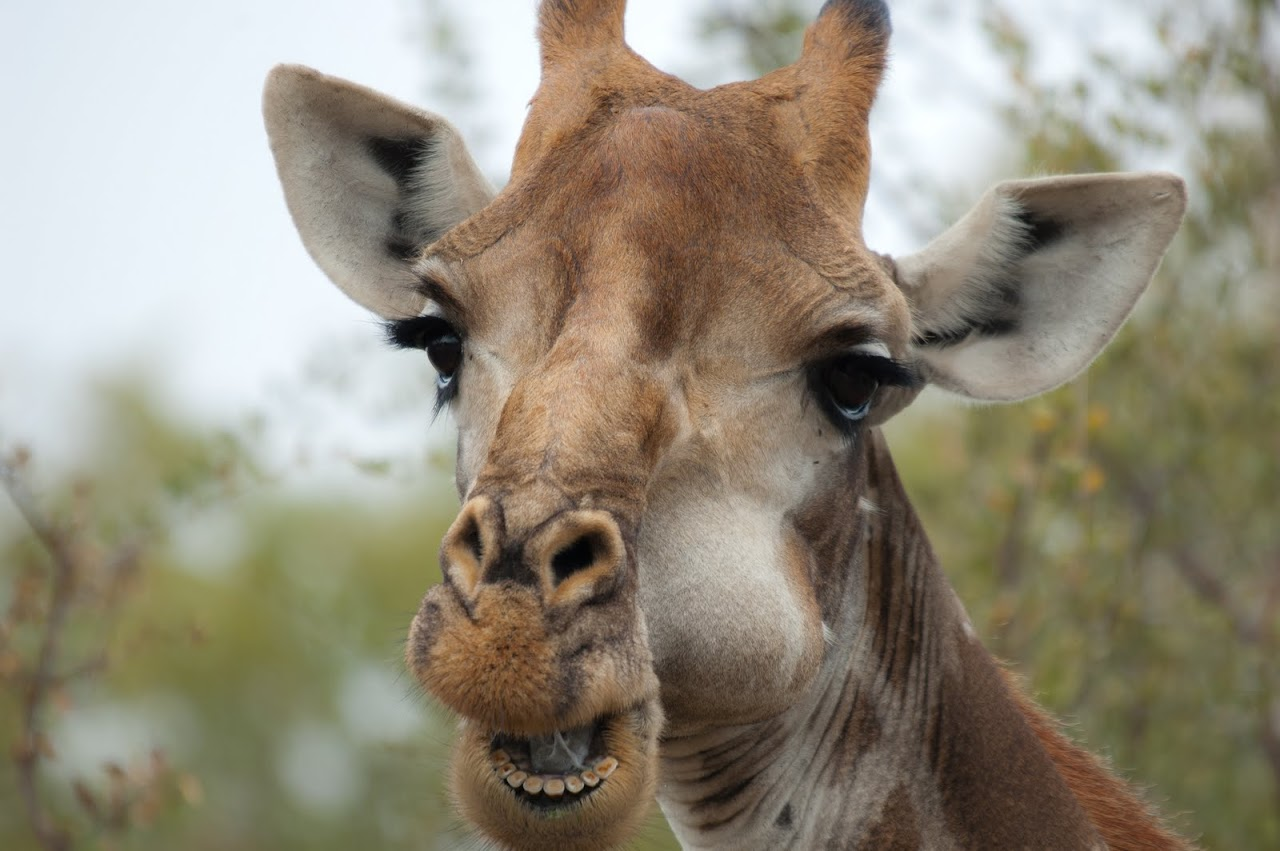 Giraffe chewing
