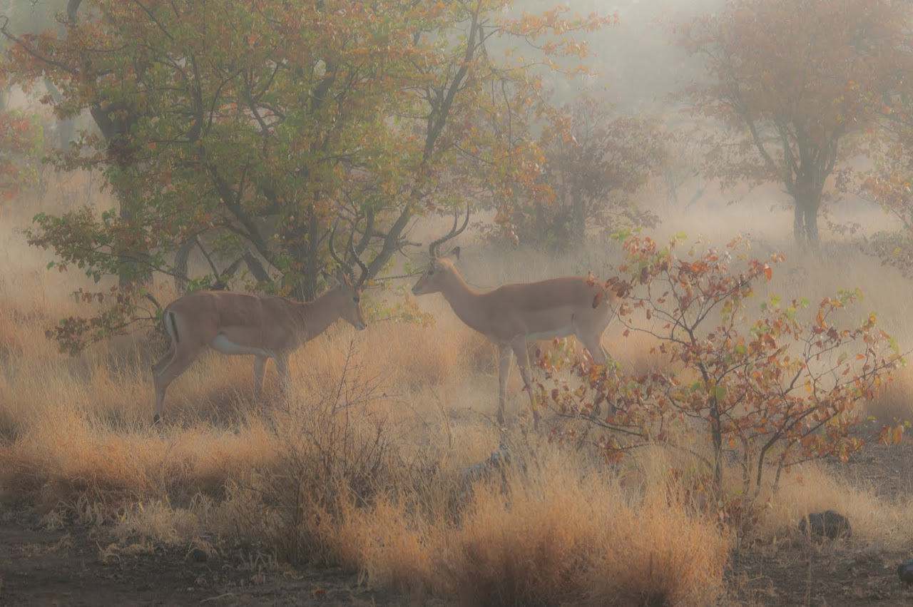 Impala walking around in morning mist