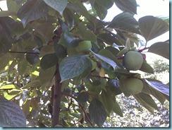δένδρο Λωτού ποικιλίας Χάνα Φούγιου