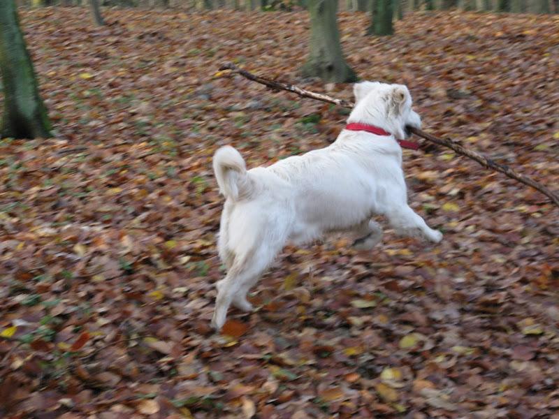 Golden Retriver skacze w lesie