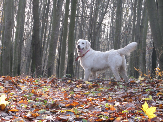 Golden Retriever pień