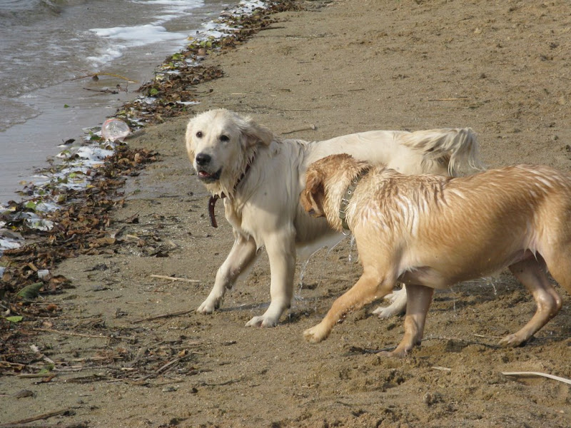 Golden Retriver i Labrador Retriver nad wodą