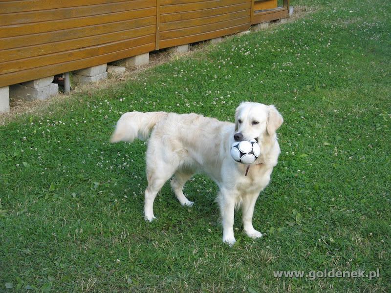 Golden Retriever na trawie z piłką