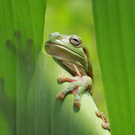 Hello World by Thomp Jerry - Animals Amphibians ( #macro #animals #frog #amphibans #macrophotography )