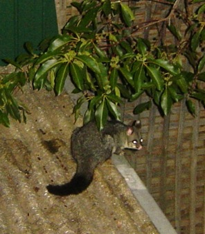possum in backyard