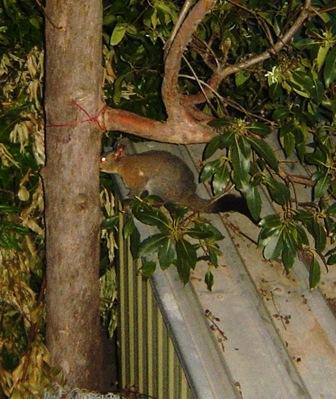 possum spotted in my backyard