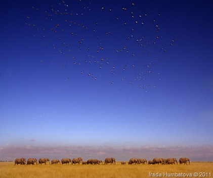 Elephants of Amboseli, Kenya