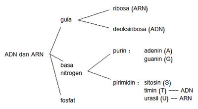Nukleotida : Komponen utama penyusun ADN dan ARN