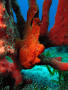 A red frog fish in the Red Sea
