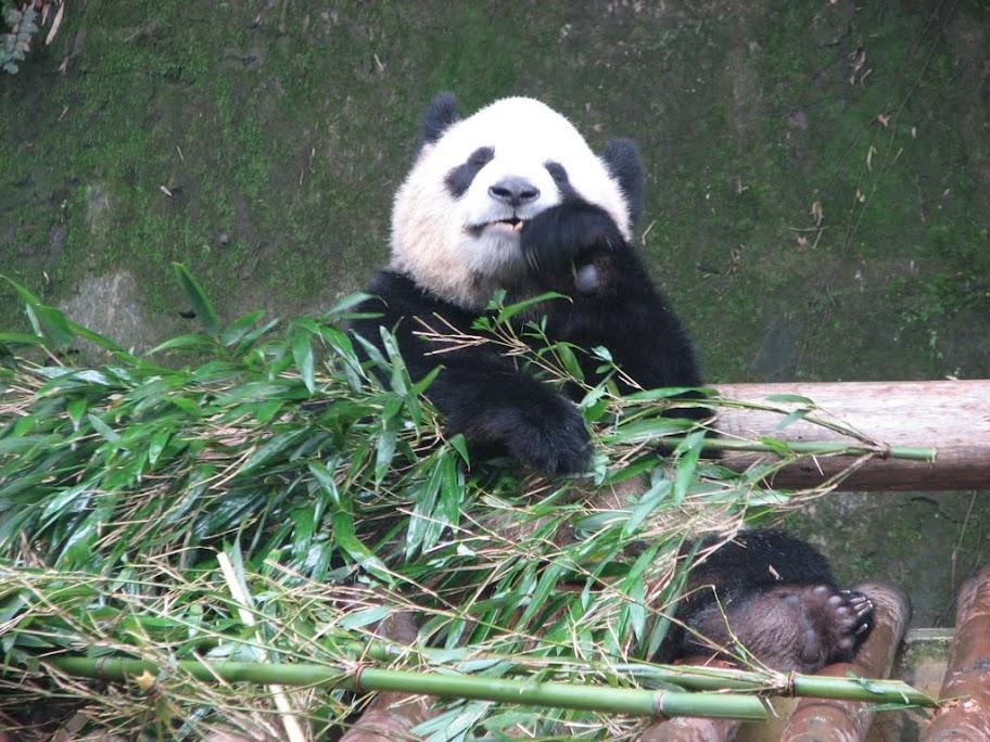 Gros panda qui mange