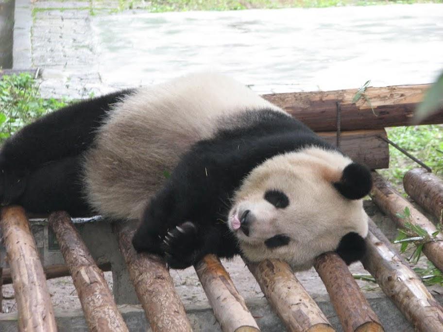 Gros panda qui pionce