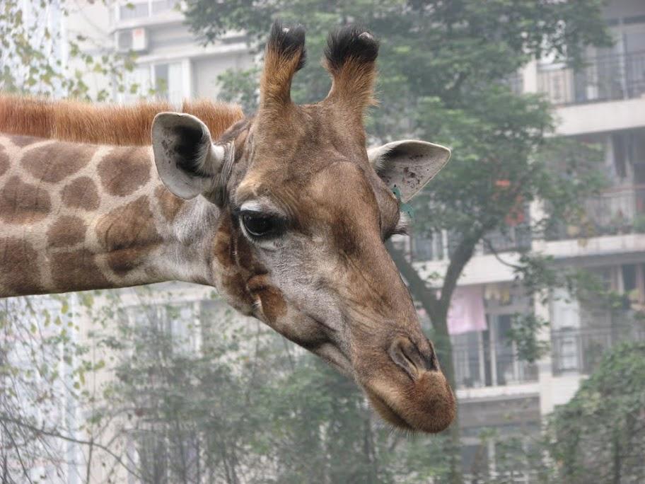 Une giraffe