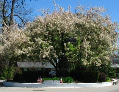 famous tree, Sullivan Brothers tree, crab apple tree