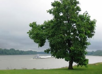 West Point Kentucky catalpa tree on Ohio River