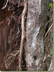 woody stems of poison ivy covered in aerial roots