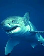 ...белую акулу.  Или как её по-другому принято называть Белая смерть.