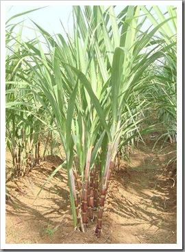 sugarcane1
