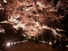 yozakura sakura at night