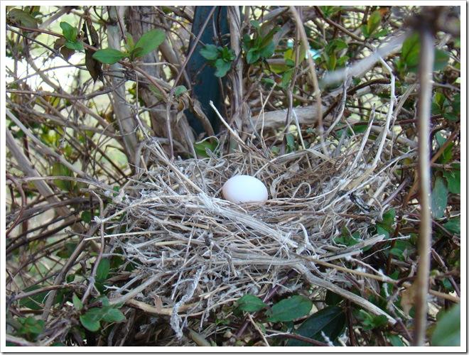 04-23-09 Dove nest in the honeysuckle 19